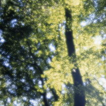 Beech tree with glowing leaves by Intensivelight Panorama-Edition
