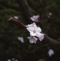 Twig of a flowering apple tree von Intensivelight Panorama-Edition