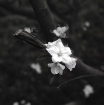 Apple blossom - monochrome by Intensivelight Panorama-Edition