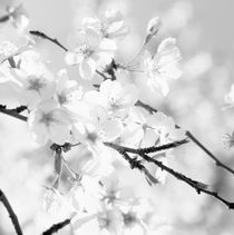 Blooming cherry tree - monochrome by Intensivelight Panorama-Edition