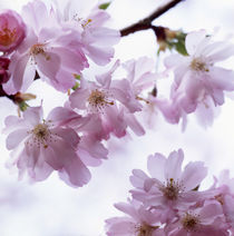 Japanese cherry blossoms von Intensivelight Panorama-Edition