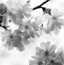 Delicate cherry blossoms - monochrome von Intensivelight Panorama-Edition