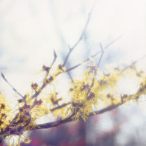 Chinese witch hazel - light von Intensivelight Panorama-Edition