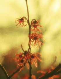 Chinese witch hazel - red von Intensivelight Panorama-Edition