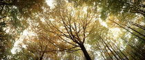 Autumn canopy seen from below by Intensivelight Panorama-Edition