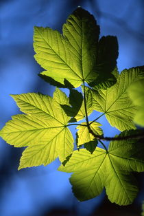 Green maples leaves in spring by Intensivelight Panorama-Edition