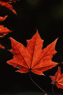 Red maple leaf in autumn von Intensivelight Panorama-Edition