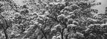pear tree  blooming in spring - monochrome von Intensivelight Panorama-Edition