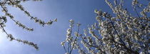 Blossoming cherry twigs and blue sky von Intensivelight Panorama-Edition