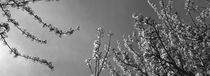 Blossoming cherry trees - monochrome by Intensivelight Panorama-Edition