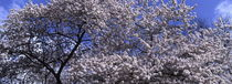 Cherry tree blooming in spring - panorama von Intensivelight Panorama-Edition