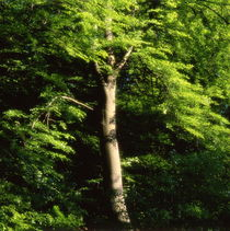 Beech tree in summer - dreamlike von Intensivelight Panorama-Edition