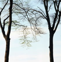 Two beech trees in spring by Intensivelight Panorama-Edition