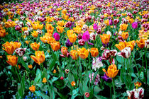 Field of Tulips von Jim DeLillo