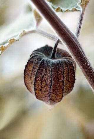 Physalis-herbstbraun