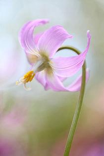 Erythronium von Brian Haslam