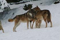 Wolf104-29