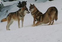 Wolf pack in the snow von Intensivelight Panorama-Edition