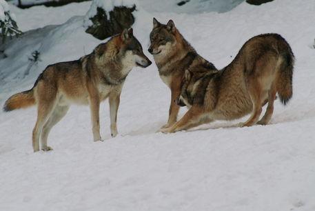 Wolf104-30