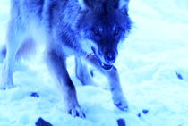 Blue wolf von Intensivelight Panorama-Edition