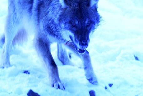 Wolf104-43blue