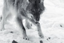 Wolf eating - monochrome by Intensivelight Panorama-Edition