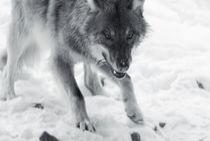 Wolf104-43sw