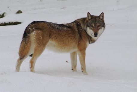 Wolf204-4gep