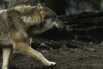 Wolf404-3