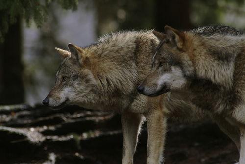 Wolf404-4