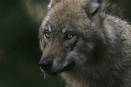 Wolf404-10