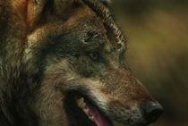 Wolf404-12
