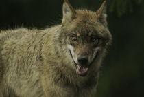Wolf404-17
