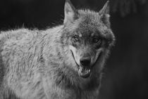 Gray wolf - monochrome by Intensivelight Panorama-Edition