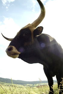 Black bull on a meadow by Intensivelight Panorama-Edition
