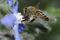 Honey bee gathering nectar by Intensivelight Panorama-Edition