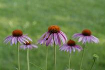 Echinacea purpurea flowers by Intensivelight Panorama-Edition