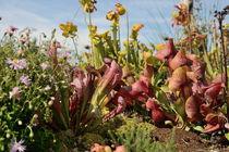 fleischfressende Pflanzen von Karin Stein