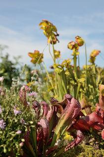 rote Schlauchpflanze by Karin Stein