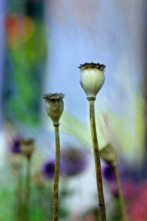 MOHNREAL von © Ivonne Wentzler