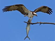 Fischadler mit Fisch und offenen Flügeln by Ulrich Missbach