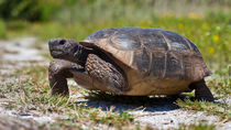 Schildkröte (Gopherus polyphemus) laufend von Ulrich Missbach