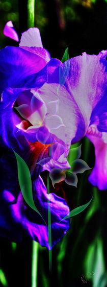 Blütenträume 23 Lilie by Walter Zettl