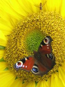 Sunflower by netty79