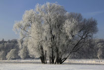 Eisbaum - ice tree by Frank Zoller