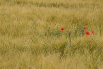 Feld mit roten  Mohn  by Ralf Wolter