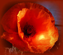 leuchtende mohnblüte von hedy beith