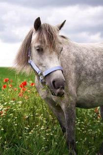 Welshpony Lulu von AD DESIGN Photo + PhotoArt