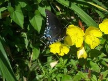 Butterfly on Buttercups by Katherine Manning