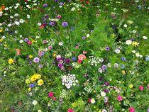 Bunte Blumenwiese von dalmore